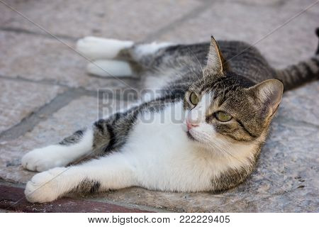 Close-up of a domestic cat lying on the ground and staring ears up.