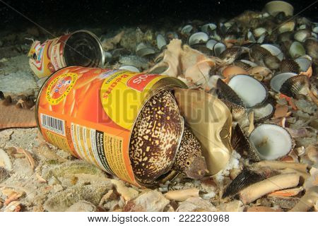 MABUL, MALAYSIA - CIRCA JANUARY 2018: Pollution environmental problem. Moray Eel inside a discarded tin can. Photo demonstrating environmental pollution of ocean problem