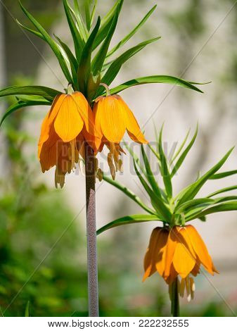 Fritillaria imperialis (crown imperial, imperial fritillary or Kaiser's crown)  a species of flowering plant in the lily family