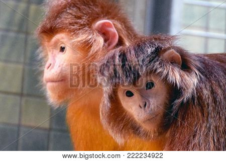 Two cute looking Javan lutung monkeys (Trachypithecus auratus), also known as the ebony lutung and Javan langur.