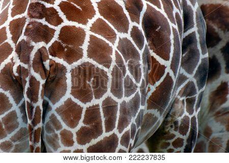 Rear view of giraffe. Horizontal close up image.