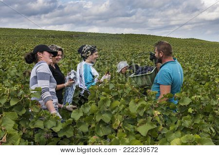 Verzy, France - September 10, 2017: Harvest of Pinot Noir grapes in the Champagne region with female and male workers in the vineyard.