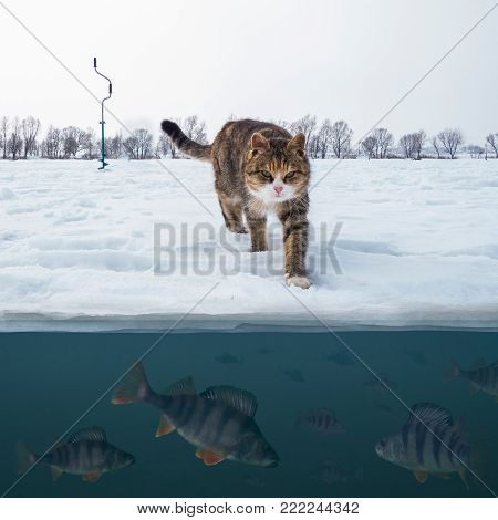 Cat fisherman on snowy ice at lake above troop of perch fish. Winter ice fishing background. Double view under and above water