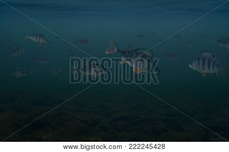 Fishing background of view under water of big troop of perch fish.