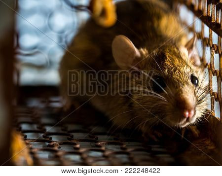 The rat was in a cage catching a rat. the rat has contagion the disease to humans such as Leptospirosis, Plague. Homes and dwellings should not have mice. The eyes of rat show fear.