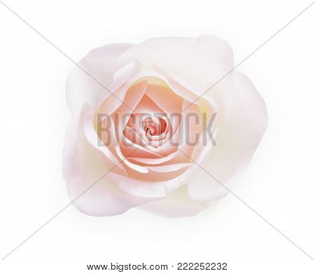 White rose flower closeup isolated on white background, top view. Pale pink bud as purity symbol. Floristic art, valentine day, wedding and romance concept