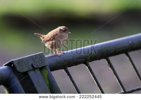 An Eurasian Wren On A Fence With A Green Background