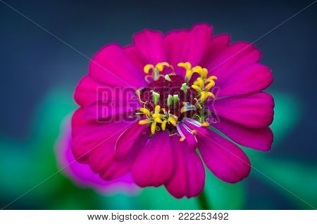 Beautiful crimson zinnia flower. Close-up of blooming zinnia flower