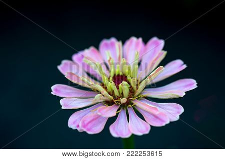 Beautiful white crimson zinnia flower with pink endings in a park