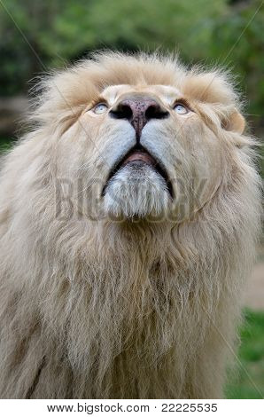 Portrait of white lion looking up