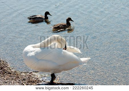 Two ducks and a swan pruning itself