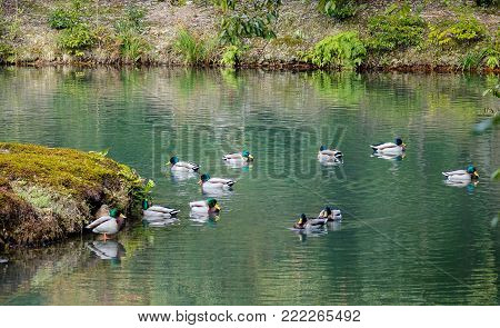 Ducks swim on the pond of a Japanese zen garden in Kyoto, Japan.