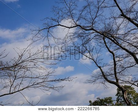 Dry tree or dead tree branches on blue sky.