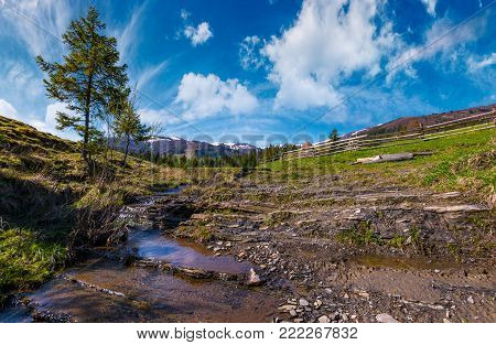spruce tree and small brook in mountains. lovely springtime scenery in valley of Pylypets village. coniferous forest at the foot of Borzhava mountain ridge, with snowy tops, in the distance