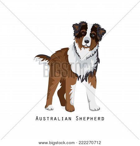Beautiful furry human friend, home animal and decorative dog: cute cartoon fluffy australian shepherd, home pet. Noble, balanced, faithful dog. Vector illustration isolated.