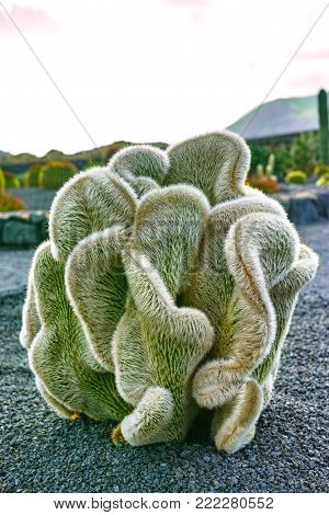 Cleistocactus strausii forma cristata silvery-white succulent plant