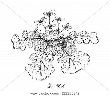 Vegetable Salad, Illustration of Hand Drawn Sketch Delicious Fresh Green Sea Kale Plant Isolated on White Background.