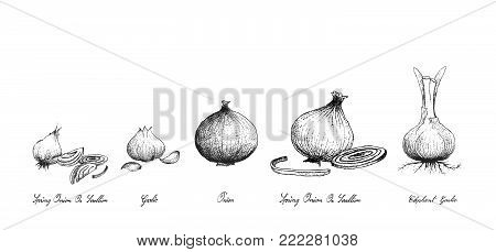 Bulb & Stem Vegetable, Illustration Hand Drawn Sketch of Fresh Garlic, Elephant Garlic, Onion and Spring Onion or Scallion Used for Seasoning in Cooking. Isolated on White Background.