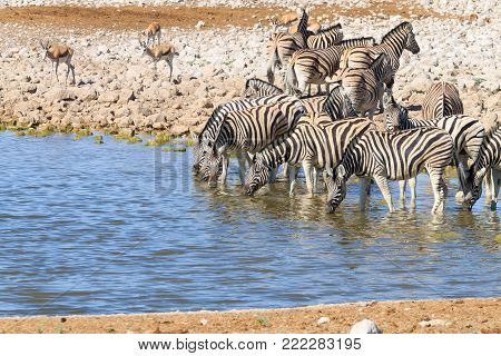 Zebras drinking at Okaukuejo waterhole from Etosha National Park, Namibia