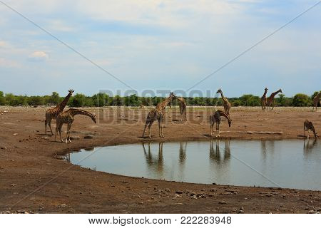 Herd of giraffes from Etosha National Park, Namibia