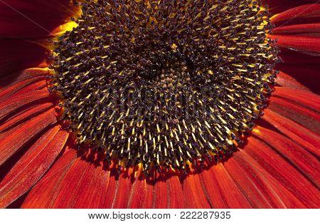 Closeup on a sunflower in red, orange. Common sunflower in bright sunshine.