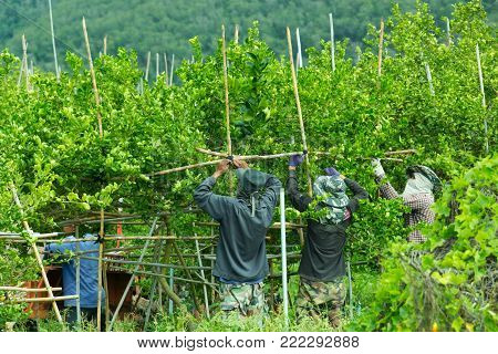 Workers use bamboo to make girder for support branches of lemon in the plantation.