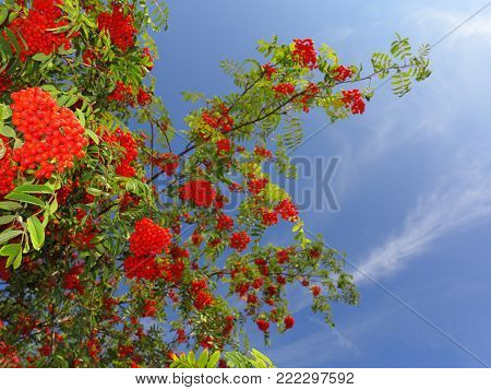Autumn red rowan berries on a tree. Rowanberry ashberry in the fall in natural setting on blue sky background. Sorbus aucuparia.