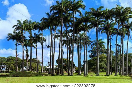 Palm grove in Fort de France, Martinique island, French West Indies.