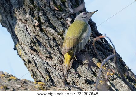 European green woodpecker (Picus viridis)  on a branch  Ukraine, 2018 A green woodpecker is searching for fodder. Natural forest background