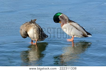 Mallard duck hen and drake pair of ducks preening feathers while resting on ice of freezing lake on windy winter