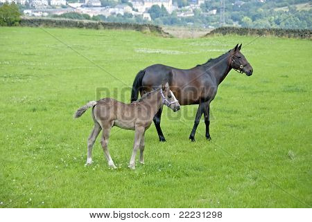 A Chestnut Mare and Four Week Foal in a moorland field in Yorkshire poster