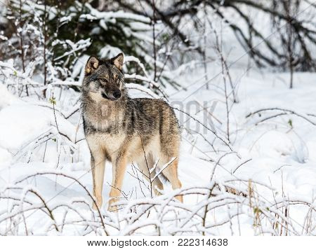Gray wolf, Canis lupus, standing towards camera, looking right, in a snowy winter forest. Captive animals in Dyreparken, Kristiansand, Norway