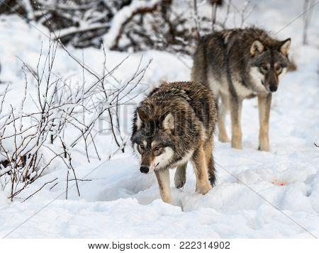 Two gray wolfs, Canis lupus, walking in the snowy winter forest. Also known as timber wolf or timberwolf. Captive animals in Dyreparken, Kristiansand, Norway