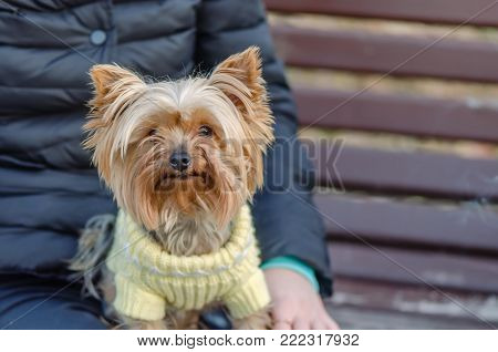 Sits, an animal with a man. Pedigree, decorative dog, brownish red, shaggy, with a thick long coat