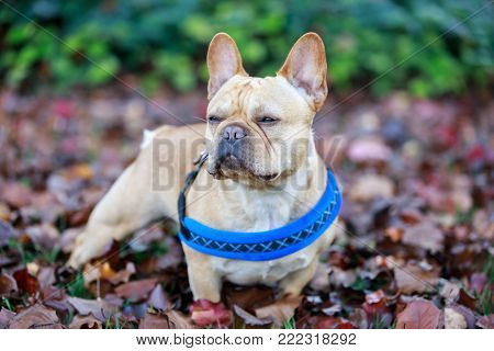 Adult Puppy French Bulldog in the park.