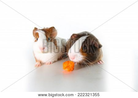 Cute little dutch guinea pig on studio white background. Isolated white pet photo. Sheltie peruvian pigs with symmetric pattern. Domestic guinea pig Cavia porcellus or cavy.