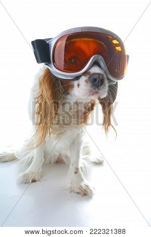 Skiing ski eyewear glasses on dog. Cavalier king charles spaniel on isolated white studio background.Cavalier king charles spaniel on isolated white studio background..
