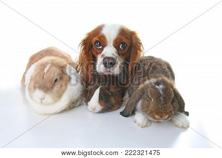 Animals together. Real pet friends. Rabbit dog guinea pig animal friendship. Pets loves each other. Cute lovely cavalier king charles spaniel puppy cavy lop photo. Isolated white background.