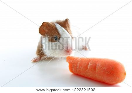 Guinea pig eating carrot on studio white background. Isolated white pet photo. Sheltie peruvian pigs with symmetric pattern. Domestic guinea pig Cavia porcellus or cavy.