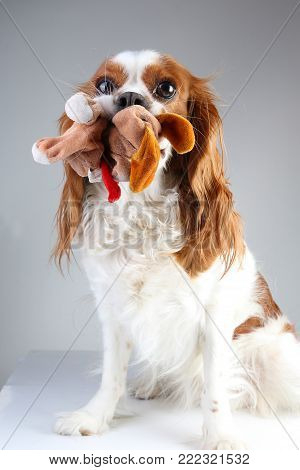 Dog with toy. Cavalier king charles spaniel on grey studio background. Happy dog playing with plush toy.
