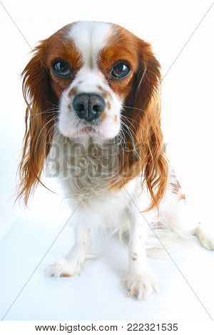 Cavalier king charles spaniel on isolated white studio background..