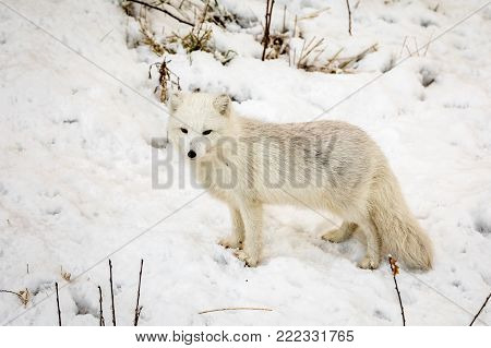 Arctic fox with winter fur, male animal standing on snow. Captive animal.