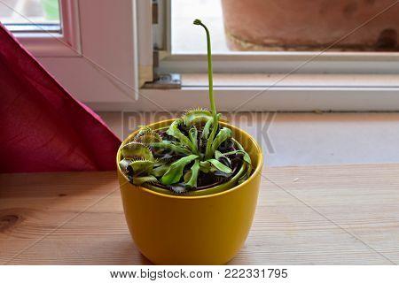 Venus's flytrap carnivorous plant in a flower pot