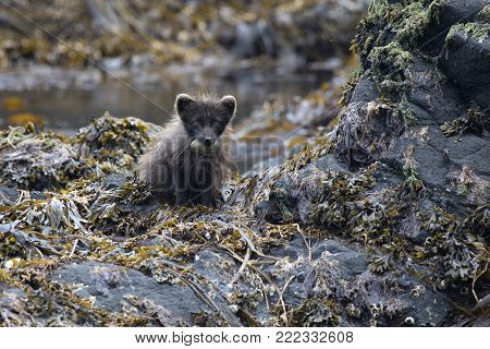 Commanders blue arctic fox sitting on a rocky island with glaucous-winged gull eggs in the teeth