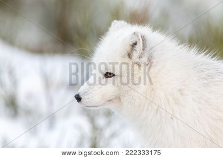 Arctic fox with winter fur, male animal looking to the left, snow and bushes in the background. Captive animal.