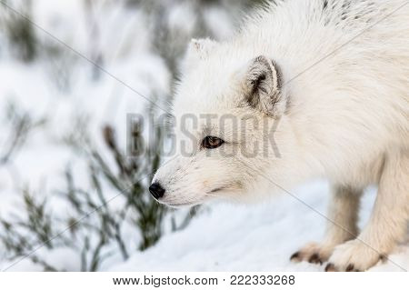 Arctic fox with winter fur, looking to the left, snow and bushes in the background. Male animal in captivity.
