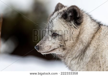 Gray arctic fox with winter fur, suspected to be a hybrid due to the dark color. Looking to the left, soft background with snow and bushes. Captive animal.