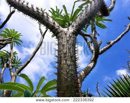 Y Shape Pointy Spiky Cactus in Blue Sky