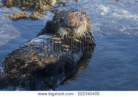 sea otter lying on its back in a small puddle at low tide on a winter day