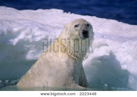 Polar bear in ice floe in Wager Bay Canadian Arctic poster